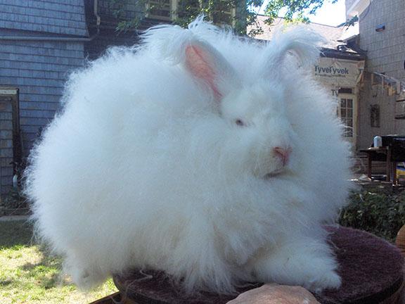 Isn't this giant Angora rabbit's face reminiscent of Erdogan's